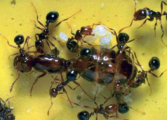 Làm việc theo nhóm giúp kiến lửa thoát chết trong lũ lụt