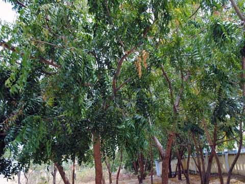 Sản xuất thuốc bảo vệ thực vật từ cây neem