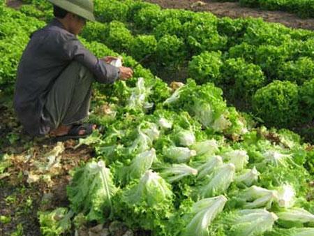 Hà Nội: Rau ô nhiễm từ ruộng đến chợ