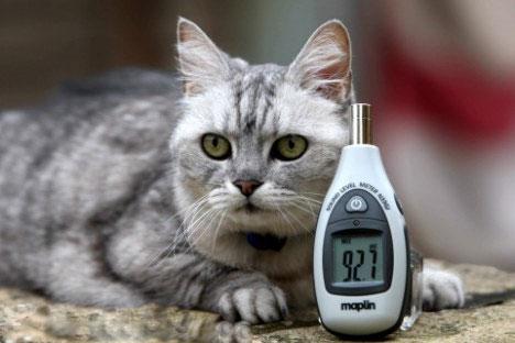 Cô mèo xám trắng 12 tuổi cao giọng nhất thế giới