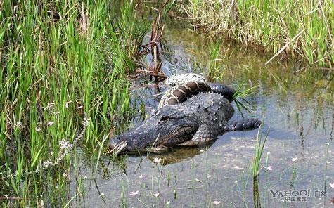 """Cá sấu châu Mỹ """"đại chiến"""" trăn Miến Điện"""