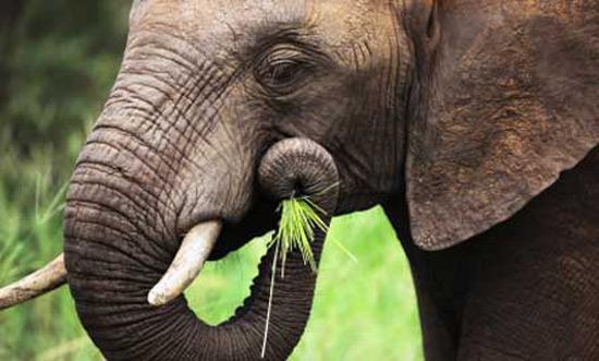 Loài voi