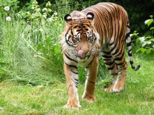 Hình ảnh hiếm về hổ Sumatra hoang dã