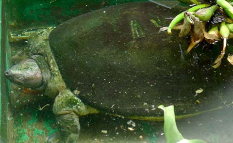 Tìm thấy con rùa độc nhất Việt Nam