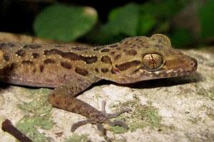 Phát hiện thêm một loài mới có 54 vảy lớn thuộc họ tắc kè