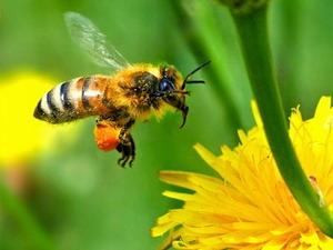 Điện thoại di động sẽ làm giảm số lượng loài ong