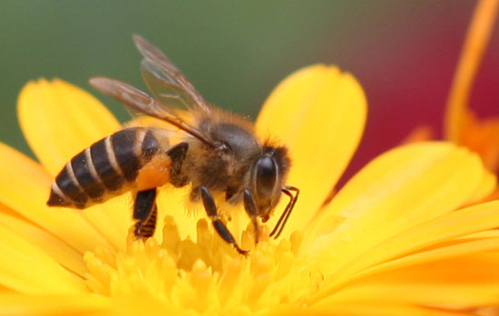 Dùng nọc ong phát hiện chất nổ