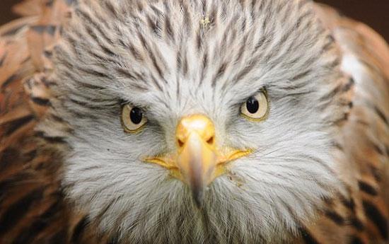 Chùm ảnh đại bàng đỏ tung cánh trên bầu trời xứ Wales
