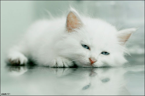 Con mèo lười