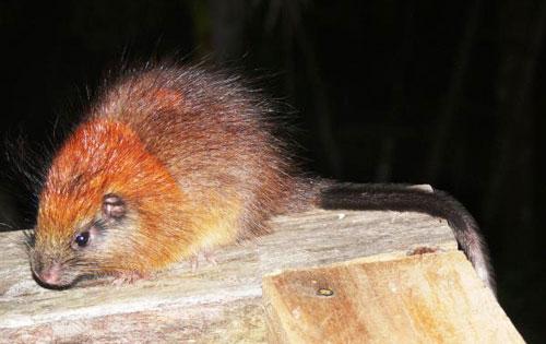 Phát hiện loài chuột hiếm sau 113 năm