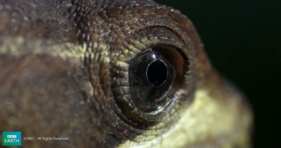 Thằn lằn Basilisk