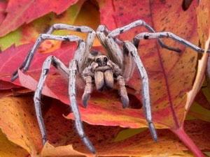 Những con nhện sói có khả năng nhả tơ từ... chân
