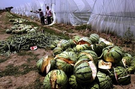 Dưa hấu ở Việt Nam cũng bị phát nổ