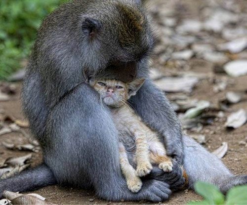 Kỳ lạ khỉ nuôi mèo