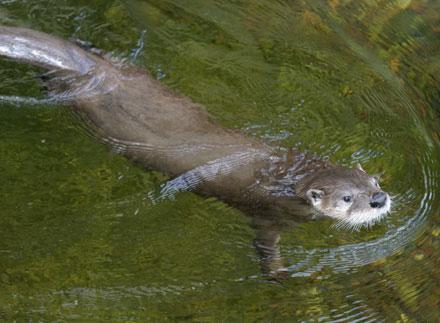 Clip vui: Bé chạy đua cùng rái cá