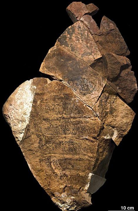 Hóa thạch khổng lồ còn khá nguyên vẹn của anomalocaridids được cho là có niên đại vào khoảng 488 tới 472 triệu năm trước