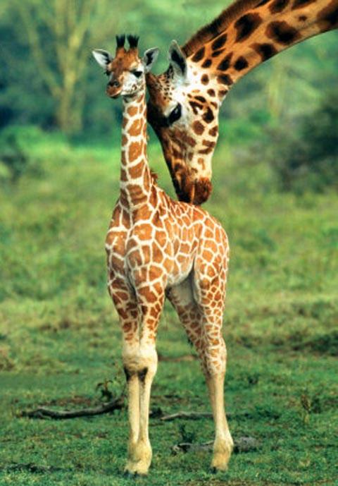 Hươu cao cổ con thường rơi từ độ cao 1,8 mét xuống khi chào đời