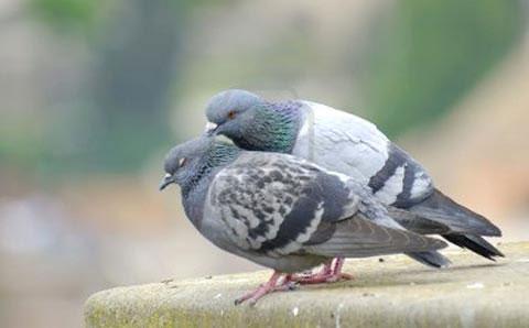 Chim bồ câu cái không thể đẻ trứng nếu không nhìn thấy một con chim bồ câu khác