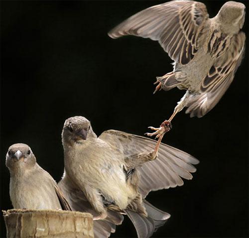 Một con chim lạ lao vào tổ chim sẻ để cướp thức ăn, nhưng trong lúc tẩu thoát nó bị một con chim sẻ giữ lại