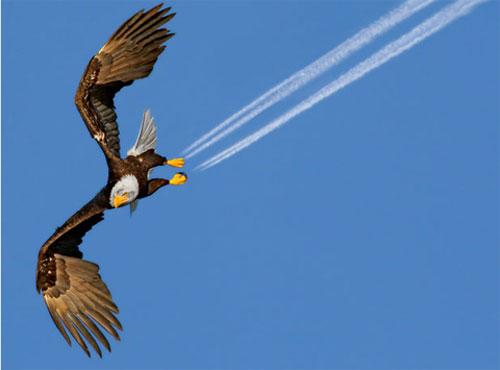 Con đại bàng hói giống một máy bay phản lực với hai vệt khói phía sau chân