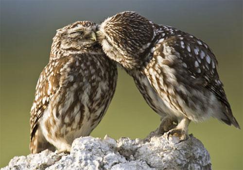 Đôi chim cú âu yếm nhau trong mùa sinh sản tại vùng Catalonia