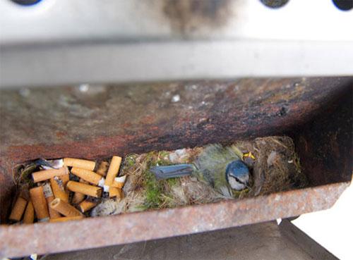 Chim sẻ ngô làm tổ trong thùng rác bên ngoài một quán cà phê