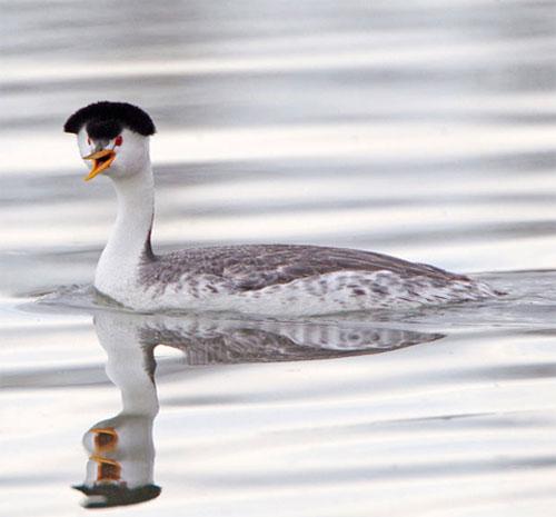 Con chim lặn đỏm dáng bơi trong một hồ tại bang Colorado