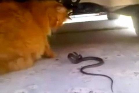 Video: Cuộc hỗn chiến giữa mèo và rắn