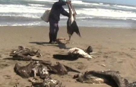 Chim biển chết hàng loạt tại Peru