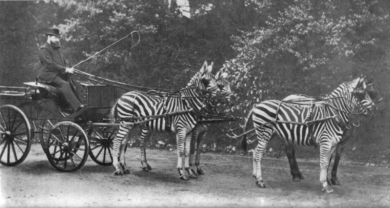 Lionel Walter Rothschild (1868-1937) với những con ngựa vằn nổi tiếng một thời. Việc thuần hóa thành công ngựa vằn là điều tương đối hiếm.