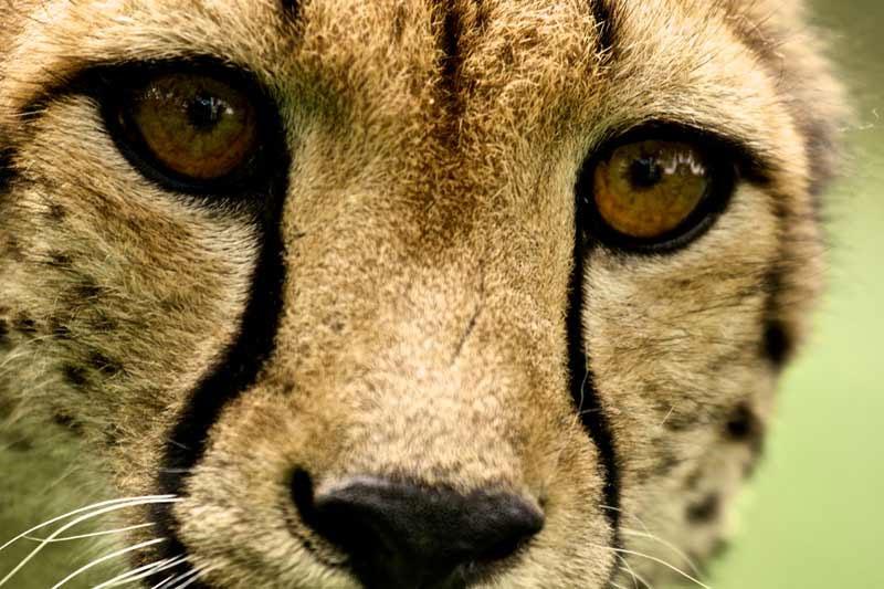 Vì sao động vật có mắt to lại chạy nhanh hơn?