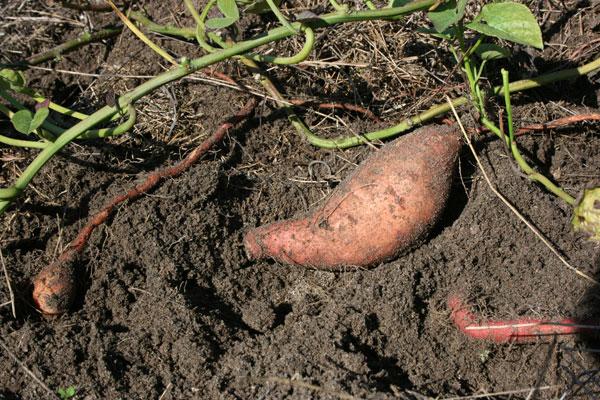NASA trồng khoai lang trên vũ trụ