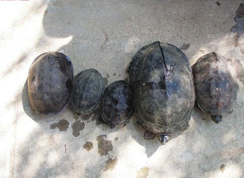 Giải cứu 5 con rùa ở Đà Nẵng