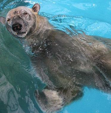Khả năng bơi siêu phàm của Gấu Bắc cực