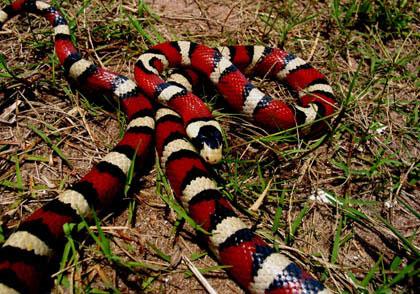 """Khám phá về loài """"rắn vua"""" 3 màu tuyệt đẹp trên núi cao"""