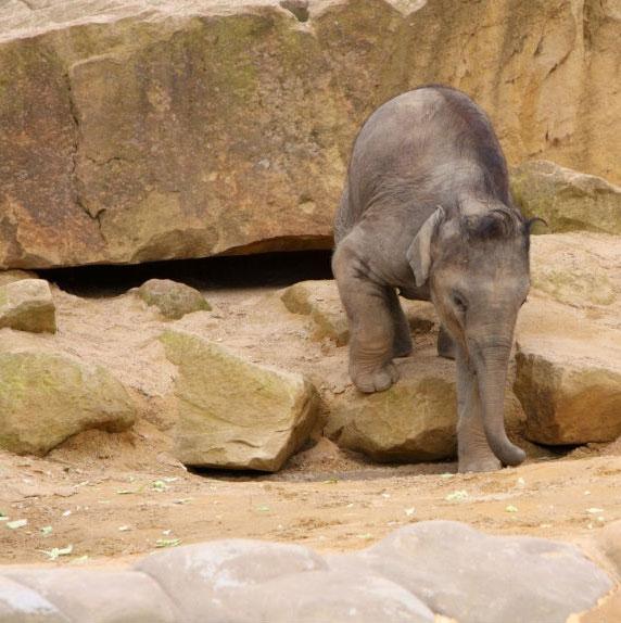 Tìm thấy loài voi ma mút nhỏ nhất