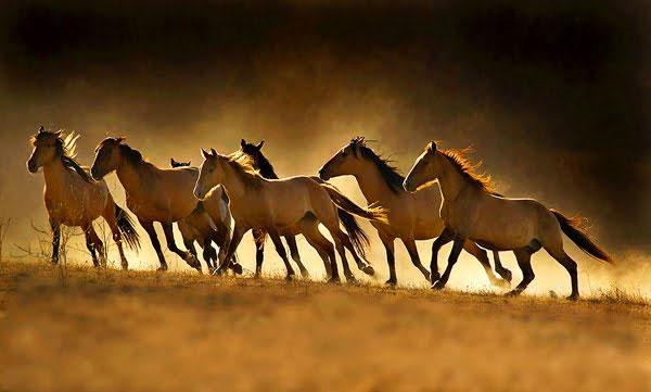 Tranh cãi gay gắt về nguồn gốc của ngựa thuần hóa