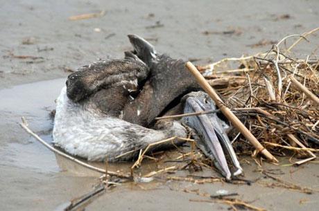 Động vật chết hàng loạt tại Peru có thể do nhiệt tăng