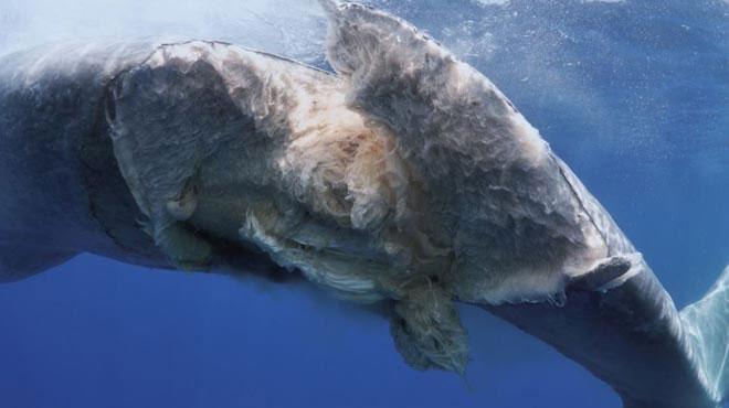 Vết thương của cá voi xanh rách toạc ra
