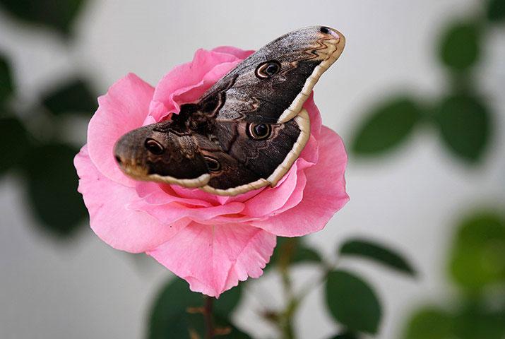 Ảnh đẹp: Bướm ngủ quên trên hoa hồng