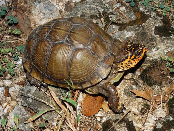 Lời giải đáp về bí ẩn nguồn gốc tiến hóa của loài rùa