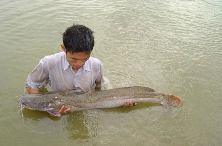 Cá Lăng chấm là loài cá có giá trị kinh tế cao.