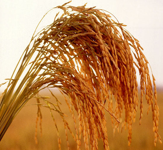 Nhật trồng thành công giống lúa ít hấp thu Cadmium
