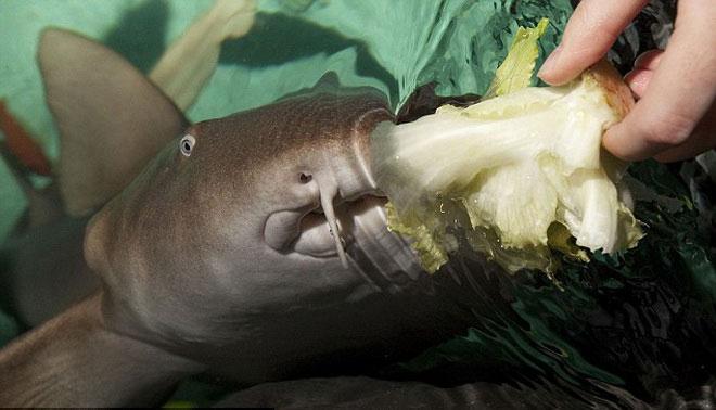 """Cá mập """"ăn chay"""" đầu tiên trên thế giới"""