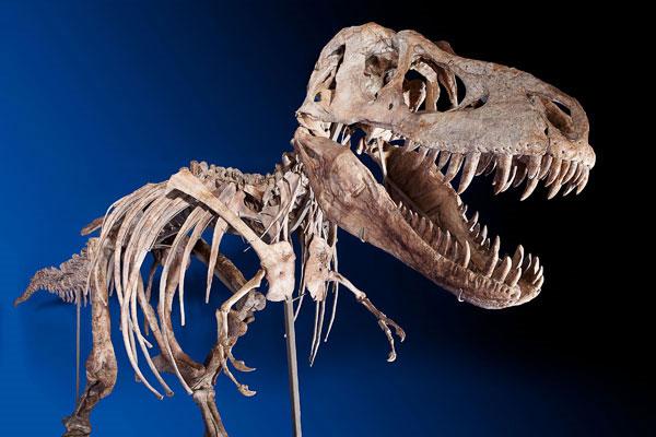 Bộ xương khủng long giá 22 tỷ đồng