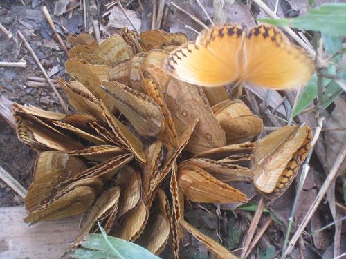 Bướm chúa rừng hiếm thấy xuất hiện hàng ngàn con ở Sapa