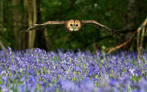 Con cú bay phía trên một cánh đồng hoa màu tím tại Lingfield, hạt Surrey, Anh.