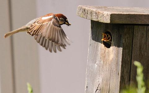 Chim sẻ tha mồi về tổ cho hai con của nó tại thành phố Bloomsburg, Pennsylvania, Mỹ.