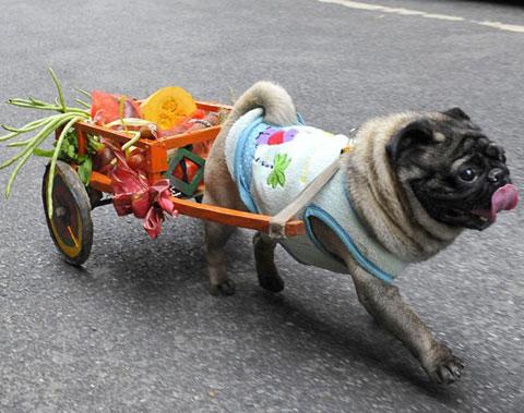 Chó kéo xe tại tỉnh Hồ Nam, Trung Quốc. Chủ của nó chất thực phẩm lên chiếc xe.