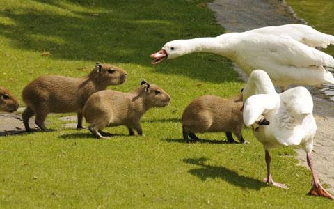 Những con vịt tỏ ra giận dữ khi đàn chuột lang nước di chuyển tới gần vị trí của chúng trong vườn thú Berlin, Đức.